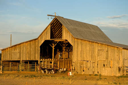 A rustic, rural barn with calves in a pen. Stock Photo