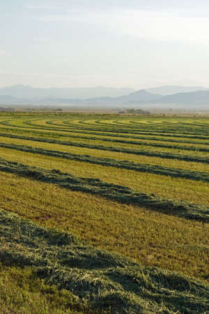 A field of alfalfa waiting for the bailer. Stock Photo