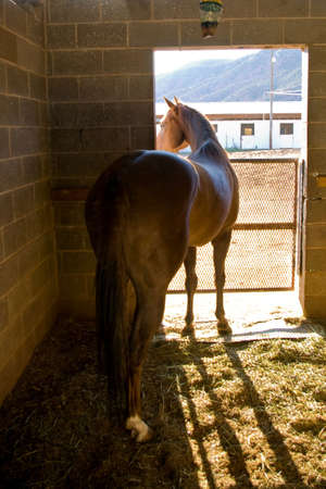 peers: View from behind a horse as it peers from its stall on a bright morning.