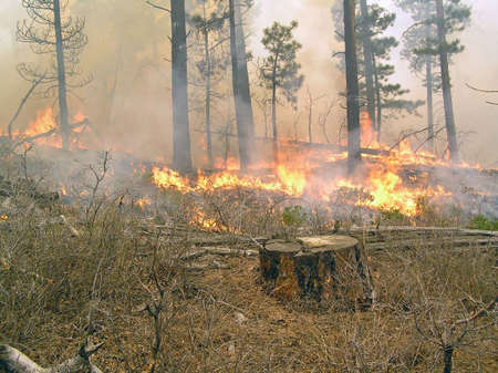 Fire burning through the underbrush in a pine forest. Stock Photo