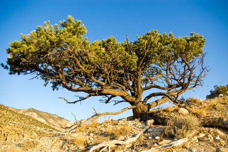 arroyo: Pinyon pine tree on the rim of a desert canyon.
