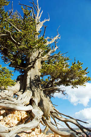 Bristlecone pine tree in a remote area of southern Utah. photo