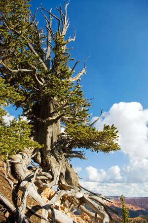 bristlecone: Bristlecone pine tree in a remote area of southern Utah.