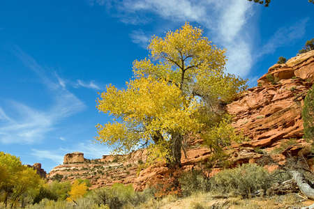 A red rock canyon with autumn cottonwood trees.
