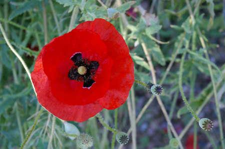 Single red poppy flower in a garden. Stock Photo - 7406540