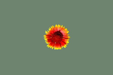 An isolated Gaillardia aristata on a green background. Stock Photo - 7406548
