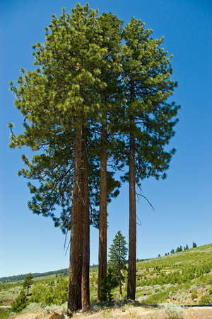 ponderosa pine: A clump of tall ponderosa pine trees in the mountains. Stock Photo