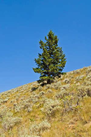 sagebrush: A lone Douglas fir tree on a hill covered with sagebrush.