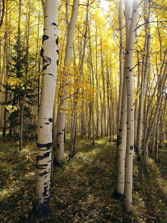 The sun shines into a dense aspen forest in the autumn.