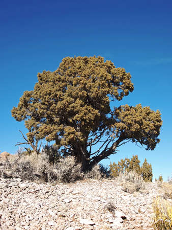 rocky mountain juniper: A single green juniper stands alone on a rocky ridge. Stock Photo