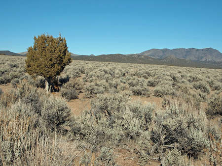 sagebrush: A lone juniper tree stands in a field of sagebrush with a mountain in the distance. Stock Photo