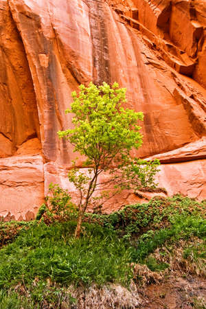 elder tree: A box elder tree stands against a canyon wall.