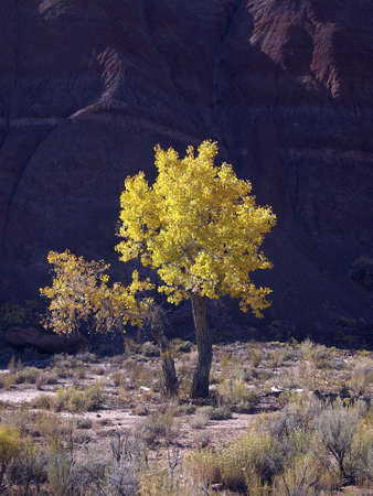 cottonwood canyon: A golden cottonwood with bright fall foliage in a desert river valley.