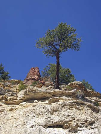 ponderosa pine: A small ponderosa pine in a sandstone canyon  Stock Photo