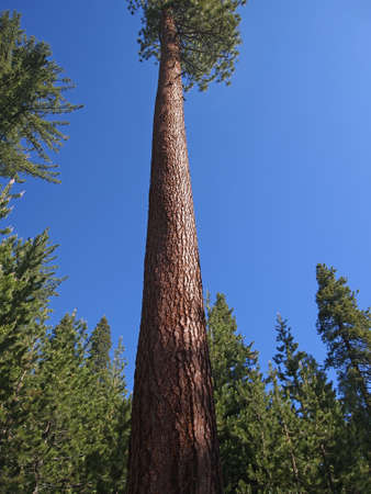 jeffrey: A tall pine tree grows in a small forest clearing