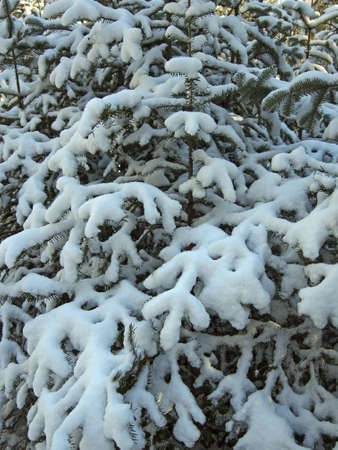 A snow covered balsam fir in a forest.