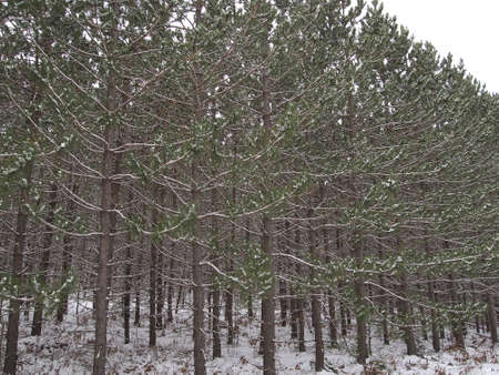 Una plantación densa de pino joven en una zona de bosque. Foto de archivo - 16587561