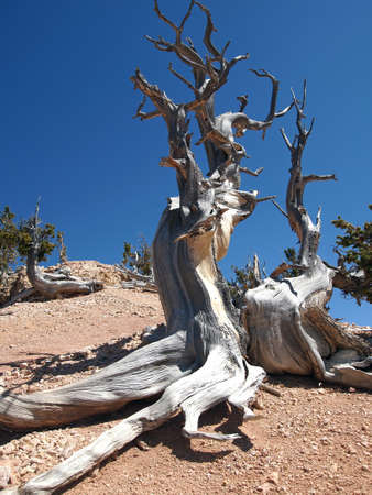 A Rocky Mountain bristlecone pine tree in the mountains. photo