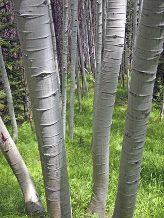 clump: A clump of white barked aspen trees in a forest.