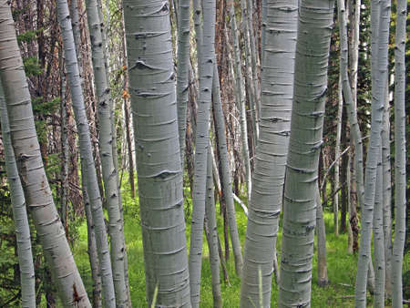 A clump of white barked aspen trees in a forest.