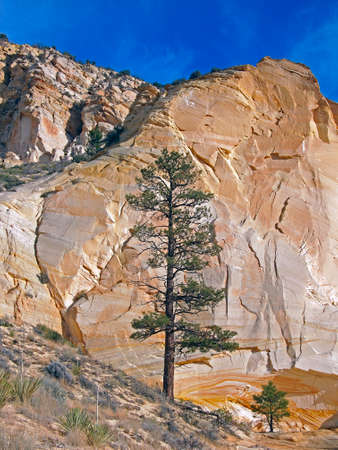 ponderosa pine: A ponderosa pine tree growing in a rocky desert area. Stock Photo