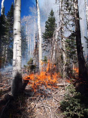 Fire burning in an aspen and fir forest.