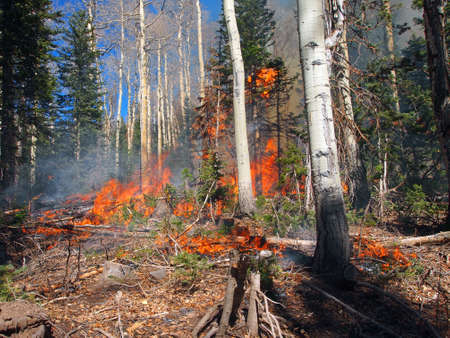 A wild fire burns in an aspen and fir forest.