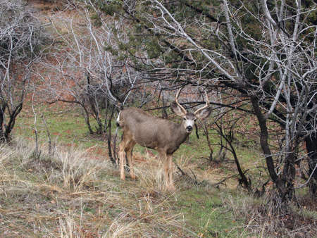 Mule deer rests in a wood lot early in the spring. Imagens