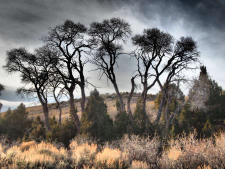 riparian: Small grove of cottonwood trees in a mountain valley.