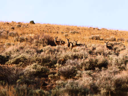 A small herd of mule deer in a meadow. Imagens