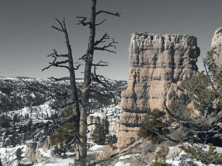 Old pine snag on a snowy desert ridge.