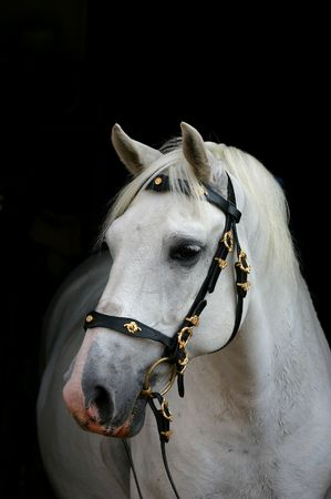 A portrait of an grey spanish Andalusian horse, against a black background