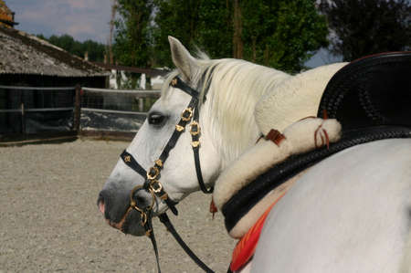 bridle: A portrait of an grey spanish Andalusian horse with traditional saddle and bridle