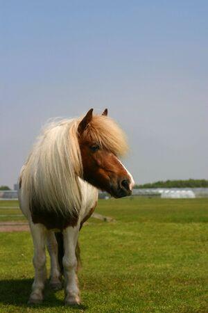 Een Shetland pony staat in een groen veld op een mooie zomerdag