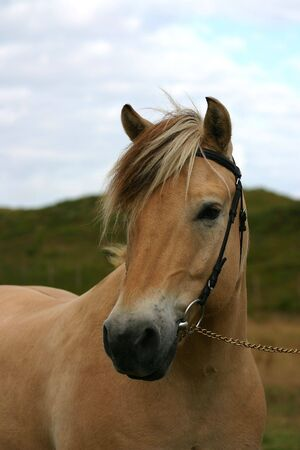 A portrait of a norwegian fjord horse in the dunes by the sea. photo