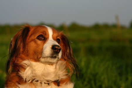 A kooijker dog in the setting sun. Se has the cutest look on her face. Stock Photo - 503487