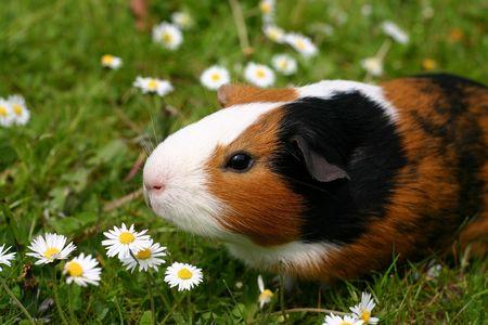 cochinos: A GUINEE cerdo con una flor amarilla en una zona verde