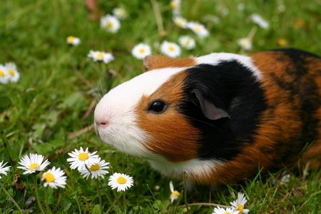 A guinee pig with a yellow flower in a green field