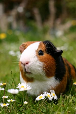 guinee: A guinee pig with a yellow flower in a green field
