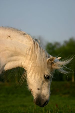 A white welsh pony with fairytale flowing manes photo