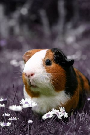 guinee: A guinee pig isolated in a pink field of flowers