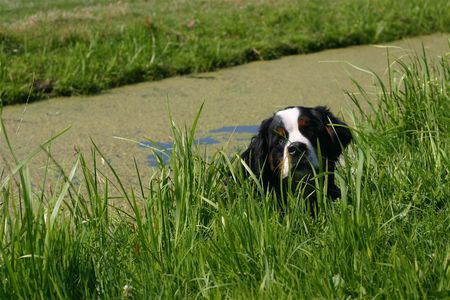 A bernese mountain dog lying in the water photo