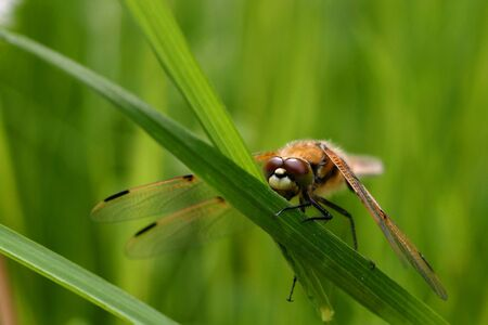 libel: A dragonfly with a green grass background