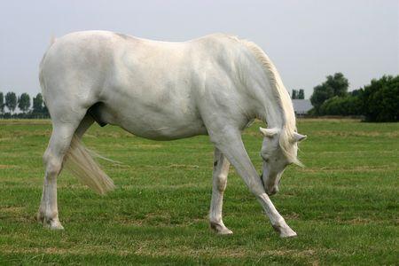 jeuken: Een grijze paard met een jeuken Stockfoto