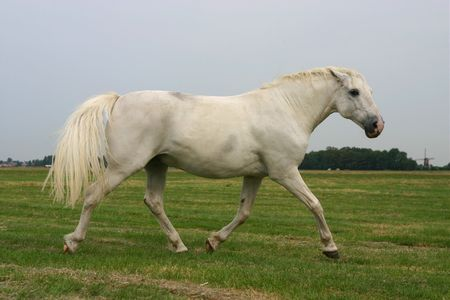 trotting: An angry white horse trotting in a green field Stock Photo