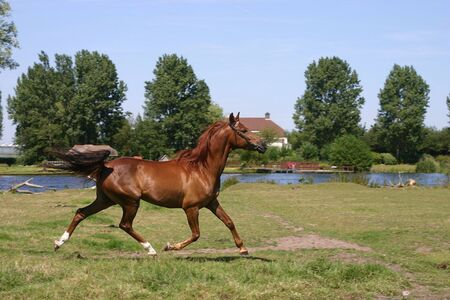 arab spring: A portrait of a chestnut arabian horse, trotting in a green field Stock Photo