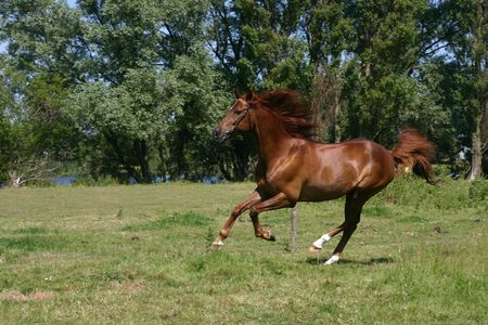A portrait of a chestnut arabian horse, galopping in a green field Stock Photo