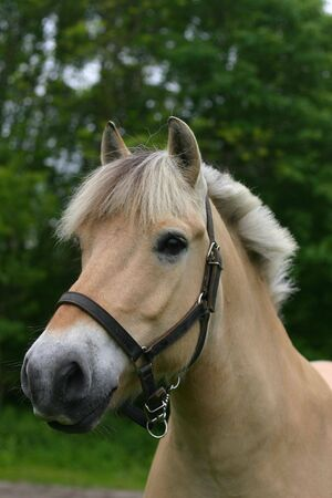 A fjord horse in the picture photo