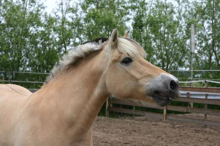 A fjord horse whinnying in the paddock photo
