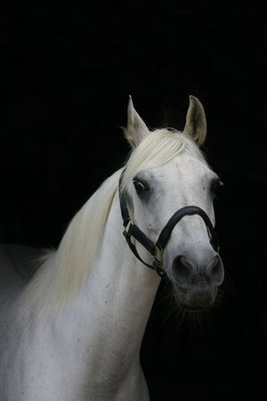 A portrait of an arabian grey horse against a black background